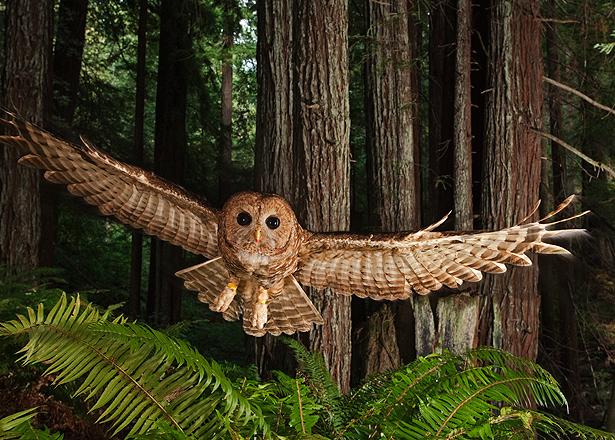 01-redwoods-owl-615