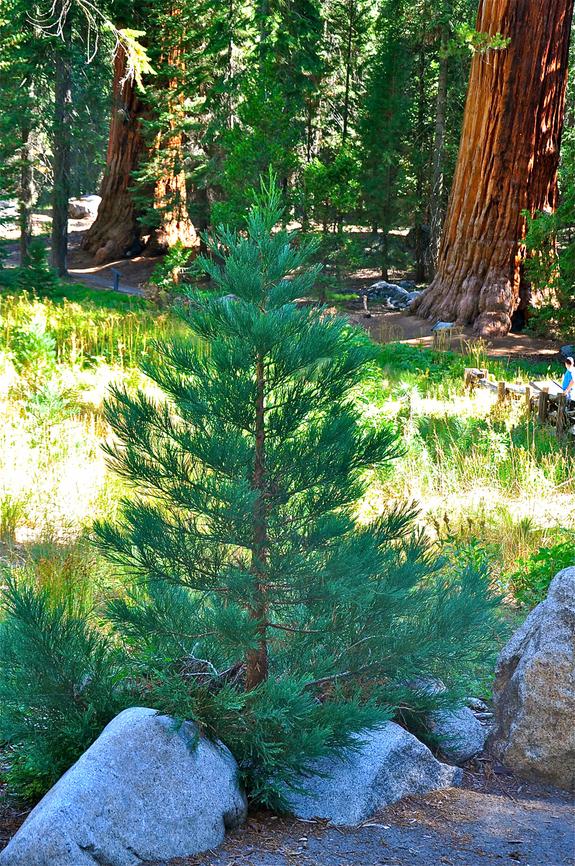 8-sequoia