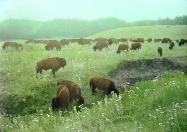 Buffalo_Herd_grazing_South_Dakota