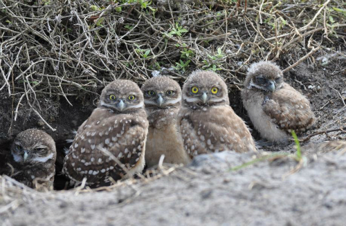Burrowing-Owls-Sized