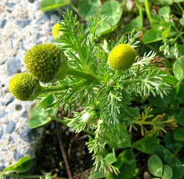 Pineappleweed