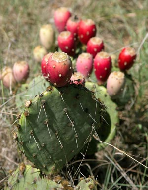 prickly_pear_tx-web