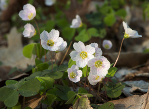 wood-sorrel-oxalis-oxalis-spp1