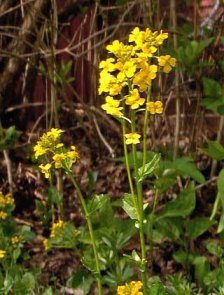 yellow-rocket-wintercress-barbarea-vulgaris